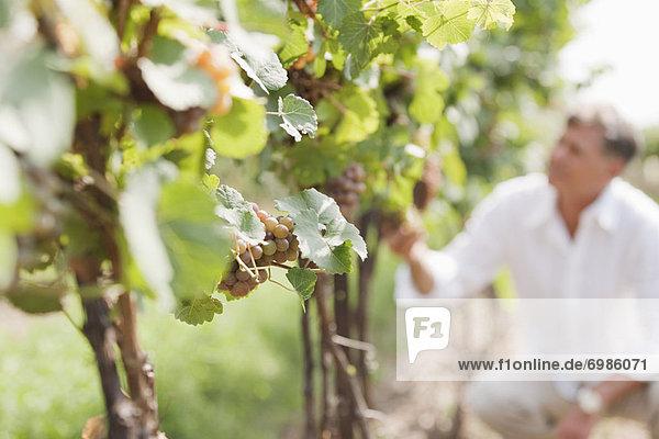 Close-up of Wine Grapes Close-up of Wine Grapes