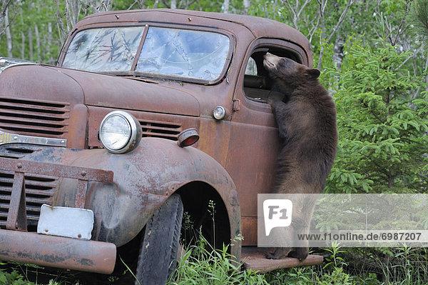 Vereinigte Staaten von Amerika  USA  Schwarzbär  Ursus americanus  sehen  Lastkraftwagen  Minnesota  alt