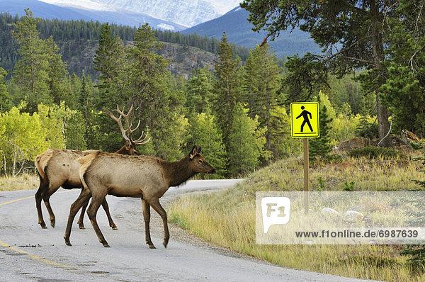 Elk Crossing Road  Jasper National Park  Alberta  Canada