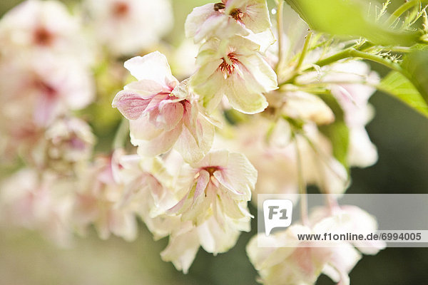 Close-up of Cherry Blossoms  Kyoto  Kansai Region  Honshu  Japan