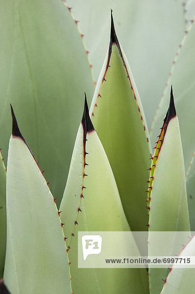 grün  Pflanze  Sukkulente