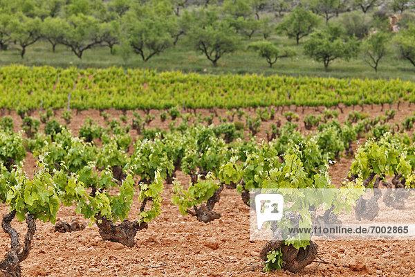 Weinstock  Aragonien  Spanien