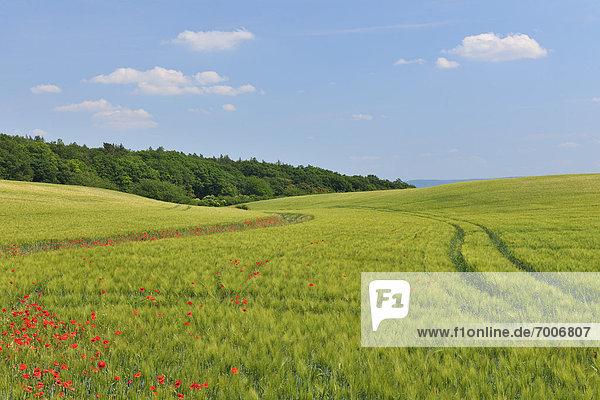 Getreide  Feld  rot  Mohn  Deutschland  Sachsen-Anhalt