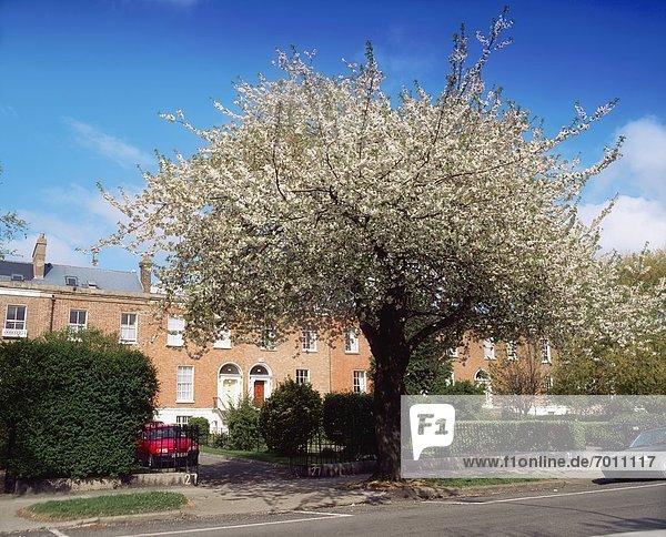 Kirschblüte  Dublin  Hauptstadt  Irland