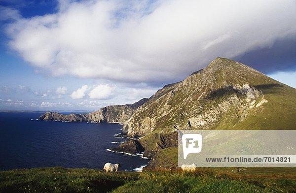 Steilküste  Schaf  Ovis aries  unterhalb  Achill Island  Irland