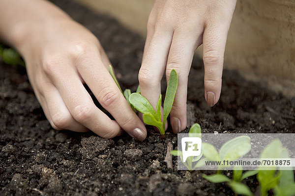 Nahaufnahme von Frauen beim Pflanzen von Sämlingen