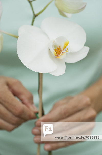 Gardener attaching stake to support orchids