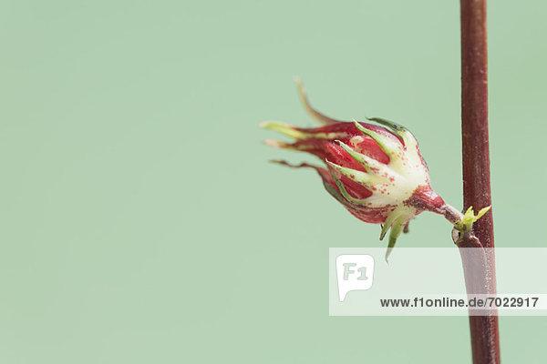 Blume  blühen  Knospe