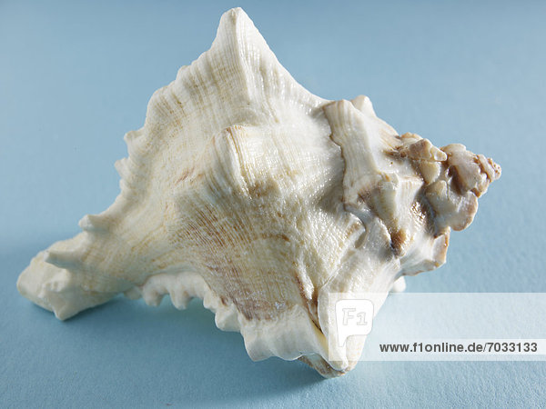 Single Seashell