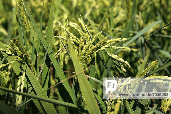 Reisähren  Reisfeld  Reisanbau bei Pals  Basses d'en Coll  Katalonien  Spanien  Europa