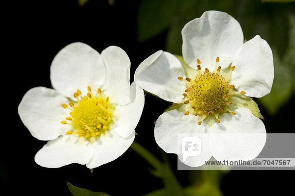 Erdbeerblüten (Fragaria)