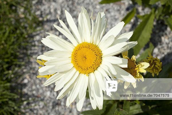 Blüte der Margerite (Leucanthemum)