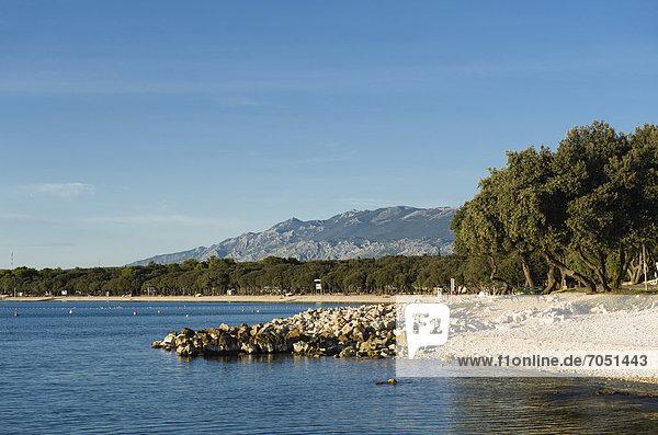 Dalmatinische Eichen (Quercus sp.) am Strand  Campingplatz bei Novalja  Insel Pag  Adria  Kvarner-Bucht  Kroatien  Europa