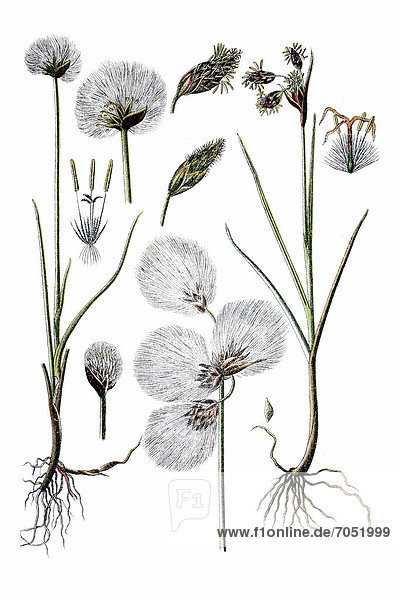 Links: Scheuchzer's Wollgras (Eriophorum scheuchzeri)  rechts: Schmalblättriges Wollgras (Eriophorum polystachyum)  Heilpflanze  historische Chromolithographie  ca. 1796