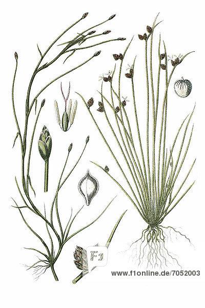 Links: Flutende Simse (Cyperus fluitans)  rechts: Borsten-Simse (Cyperus setaceus)  Heilpflanze  historische Chromolithographie  ca. 1796