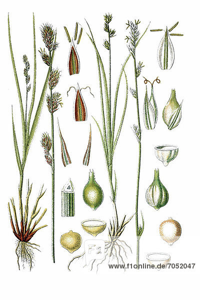 Links: Stachelköpfige Segge  Sparrige Segge (Carex muricata)  rechts: Grüne Segge (Carex virens)  Heilpflanze  historische Chromolithographie  ca. 1786