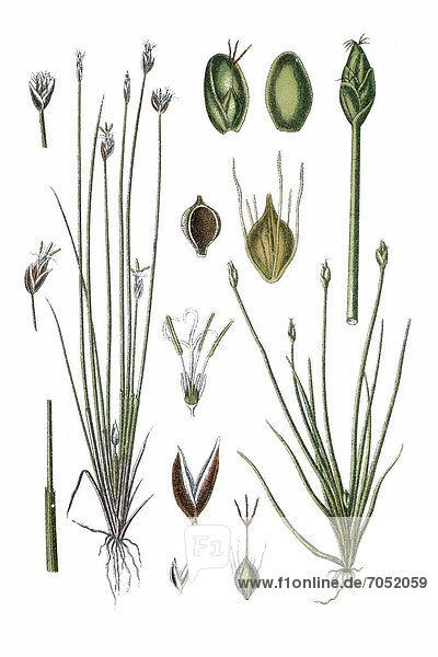 Links: Torf-Simse (Cyperus pauciflorus)  rechts: Zwerg-Simse (Cyperus parvulus)  Heilpflanze  historische Chromolithographie  ca. 1786