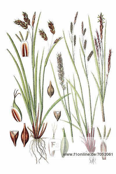 Links: Flatter-Segge  Haarstielige Segge (Carex capillaris)  rechts: Dünne Segge  Kurzährige Segge (Carex brachystachys)  Heilpflanze  historische Chromolithographie  ca. 1796