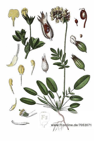 Links: Wundklee (Anthyllis vulneraria)  rechts: Schotenklee (Lotus siliquosus)  Heilpflanze  historische Chromolithographie  ca. 1796