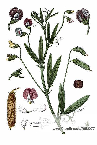 Behaarte Kichererbse (Pisum hirsutum)  Heilpflanze  historische Chromolithographie  ca. 1796