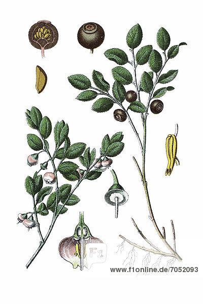 Heidelbeere (Vaccinium myrtillus)  Heilpflanze  historische Chromolithographie  ca. 1786