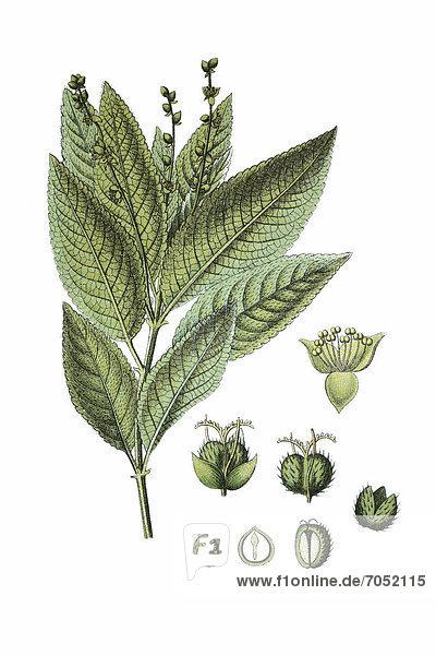 Wald-Bingelkraut  auch Wildhanf (Mercurialis perennis)  Heilpflanze  historische Chromolithographie  ca. 1796
