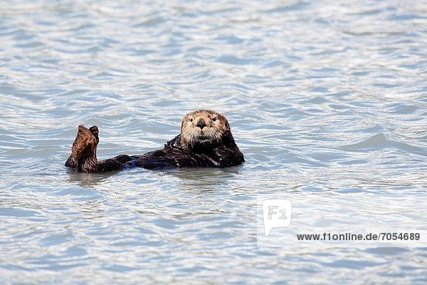 Otter  Lutrinae  Meer  Alaska  Prince William Sound
