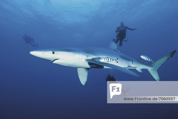 Portugal  Scuba divers swimming with blue shark