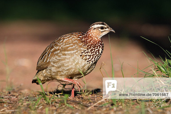 Mandatory Credit: Photo by Gallo Images / Rex Features (1847752a) Crested francolin in the Marakele National Park. South Africa - 2012