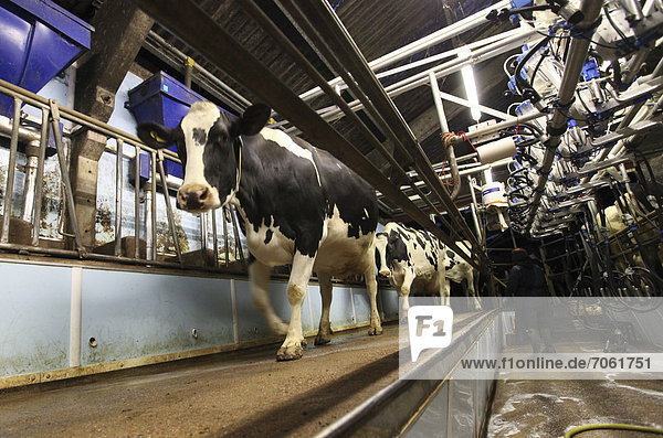 Mandatory Credit: Photo by Rex Features (1886843d) A dairy cows in a milking parlour Dairy Farm  Dorking  Surrey  Britain - 15 May 2012