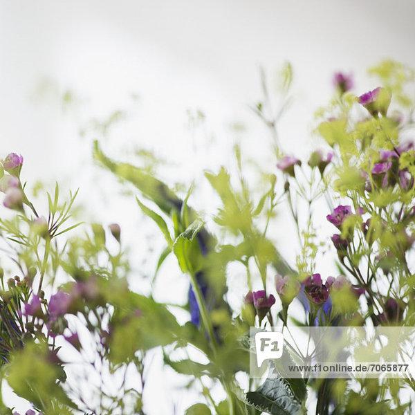 Wildblume  schießen  Studioaufnahme
