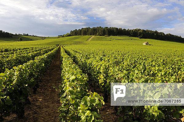 Weinberg in der Nähe von Monthelie  Burgund  Frankreich  Europa