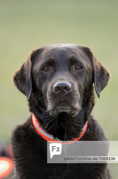 Brauner Labrador Retriever,  Portrait