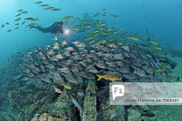 Taucher mit Fischschwarm über einem Schiffswrack  Mirbat  Oman  Indischer Ozean  Unterwasseraufnahme Fischschwarm Unterwasseraufnahme