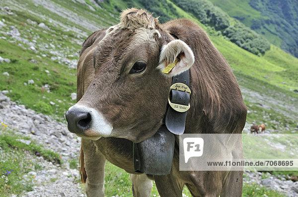 Junges Rind (Bos primigenius taurus)  Oytal bei Oberstdorf  Allgäuer Alpen  Allgäu  Bayern  Deutschland  Europa  ÖffentlicherGrund