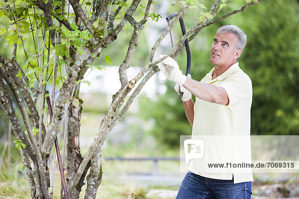 Senior man pruning branch of a tree with bow saw in garden