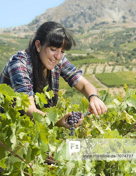 Junge Frau bei der Weinlese  Kreta  Griechenland