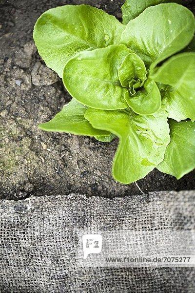 Salatpflanze im Beet (Draufsicht)