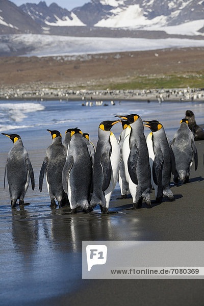 Königspinguine (Aptenodytes patagonicus)  St. Andrews Bay  Südgeorgien  Antarktis Königspinguine (Aptenodytes patagonicus), St. Andrews Bay, Südgeorgien, Antarktis
