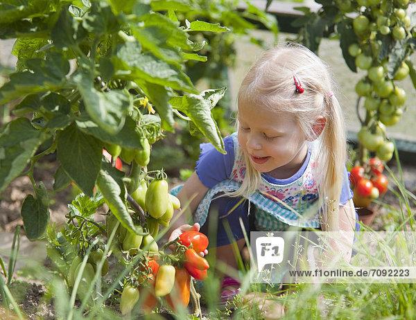 Mädchen pflücken Tomaten im Garten