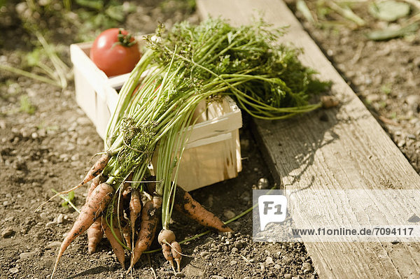 Germany  Bavaria  Carrots and tomatoes in basket at vegetable garden