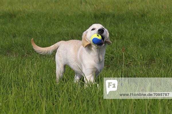 Golden Retriever Welpe (Canis lupus familiaris)  drei Monate  spielt mit Ball auf Wiese