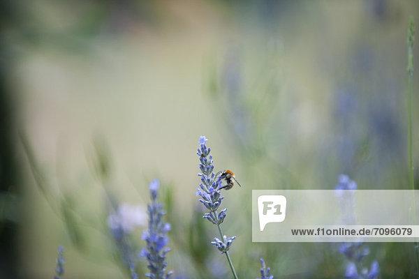 Blume  hocken - Tier  Biene  Lavendel Blume ,hocken - Tier ,Biene ,Lavendel