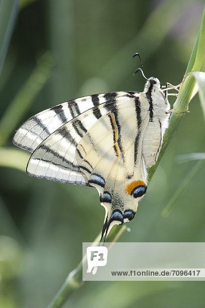 Schwalbenschwanz  Papilio machaon  Schmetterling  Zebra Schwalbenschwanz, Papilio machaon ,Schmetterling ,Zebra