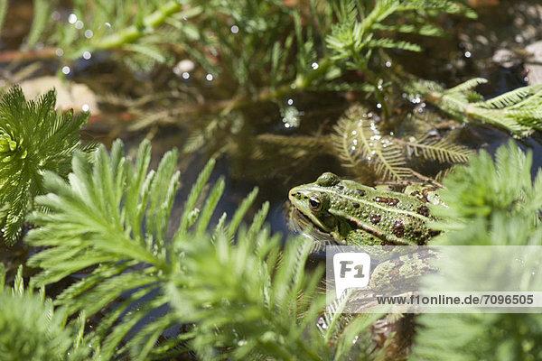 grün  Frosch  Teich grün ,Frosch ,Teich