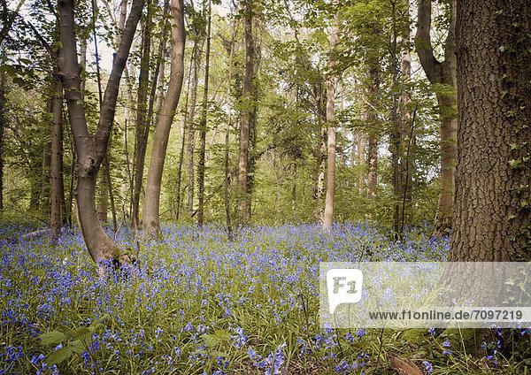 Purpurne Wildblumen im Wald