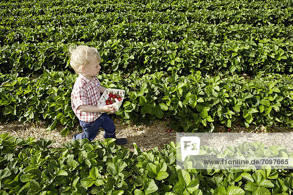 Junge pflückt Erdbeeren auf dem Feld