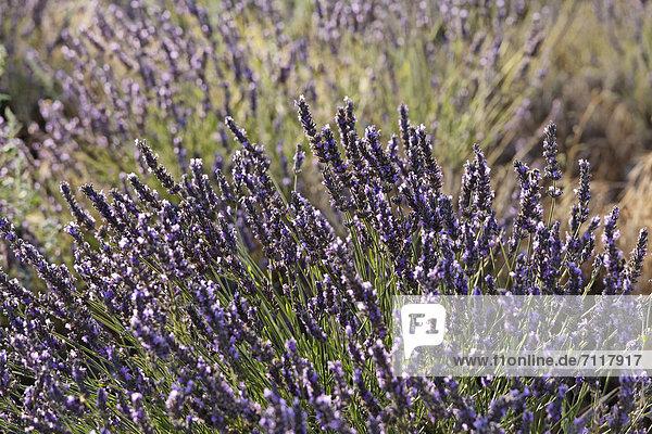 Lavendelfeld auf dem Plateau von Valensole  Riez  Region Provence  DÈpartement Alpes-de-Haute-Provence  Frankreich  Europa