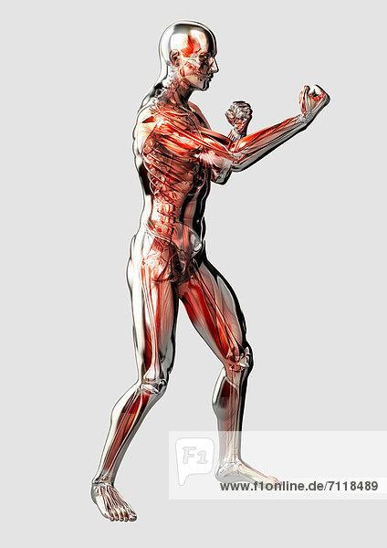 Männliches anatomisches Modell in Kampfhaltung vor weißem Hintergrund