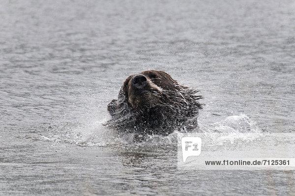 Vereinigte Staaten von Amerika  USA  Braunbär  Ursus arctos  Wasser  Amerika  Alaska  Wildtier
